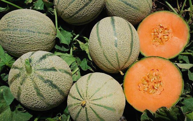 Melone retato mundial